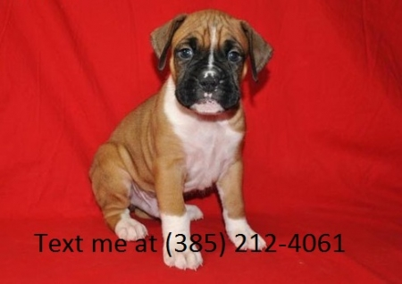 Sdfg Boxer Puppies For Sale