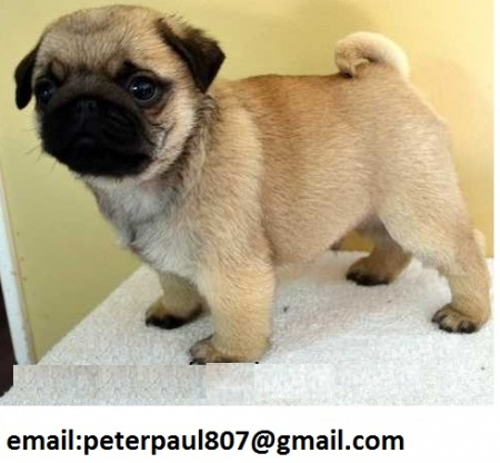 Fsd Cute Pug Puppiies for Sale