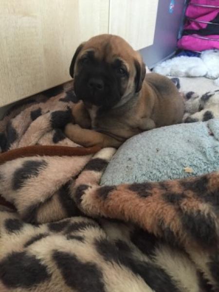 Saa Mastiff Puppies For Sale