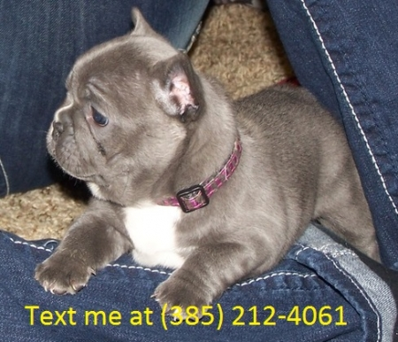 Dfss French Bulldog Puppies For Sale