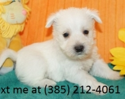asfa West Highland White Terrier Puppies For Sale