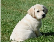dfsg labrador puppies for sale