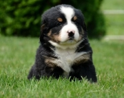 dgtd Bernese Mountain Dog Puppies For Sale