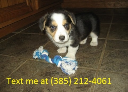 Dfsg Cardigan Welsh Corgi Puppies For Sale