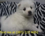 dsgd American Eskimo Dog Puppies For Sale