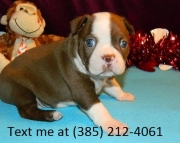 gfj Boston Terrier Puppies For Sale