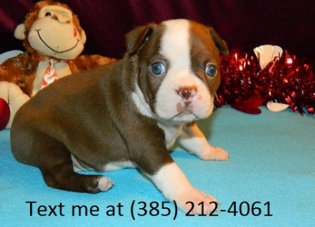 Gfj Boston Terrier Puppies For Sale