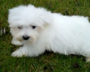 dde Havanese Puppies For Sale