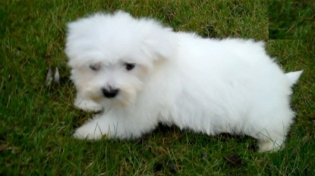 Dde Havanese Puppies For Sale