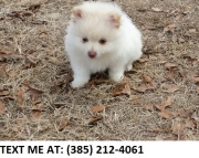asfa Pomeranian Puppies For Sale