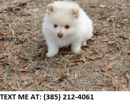 Asfa Pomeranian Puppies For Sale