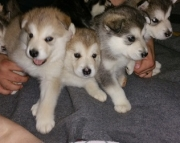 dgsgs Alaskan klee kai puppies for sale