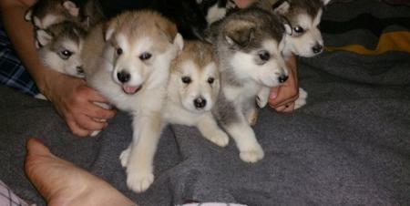 Dgsgs Alaskan Klee Kai Puppies for Sale