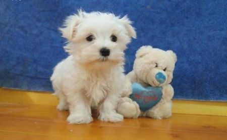 Sfs Maltese Puppies For Sale