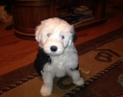 fhhs Old English Sheepdog puppies for sale