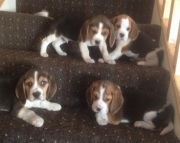 hfx Beagle Puppies For Sale