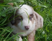 gfhg Australian Shepherd Puppies For Sale