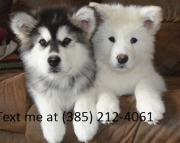 gjg Alaskan Malamute  puppies for sale