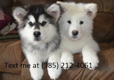 Gjg Alaskan Malamute  Puppies for Sale