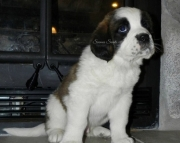 dgd Saint Bernard Puppies For Sale