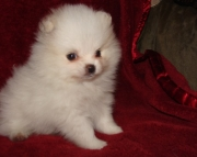 vnv Pomeranian puppies for sale