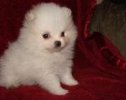 vnv Pomeranian puppies for sale