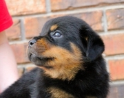 hfg Rottweiler Puppies For Sale