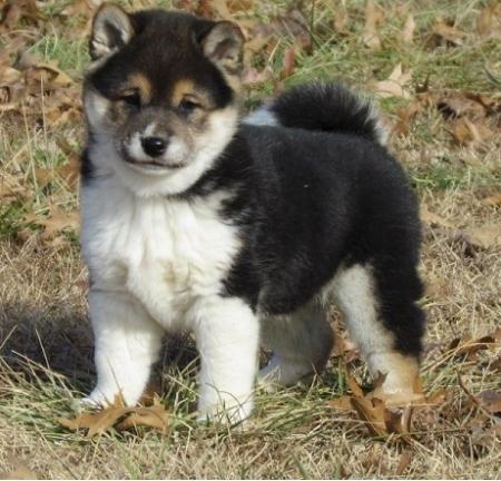 Uyi Shiba Inu Puppies for Sale