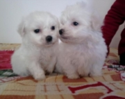 hsa Havanese puppies for sale