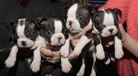 Fjhd Boston Terrier Puppies For Sale Handmade Michigan