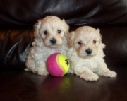 ghf Malti Poo puppies for sale