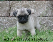 fhdl Cute pug puppiies for sale