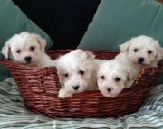 fhd Bichon Frise Puppies For Sale