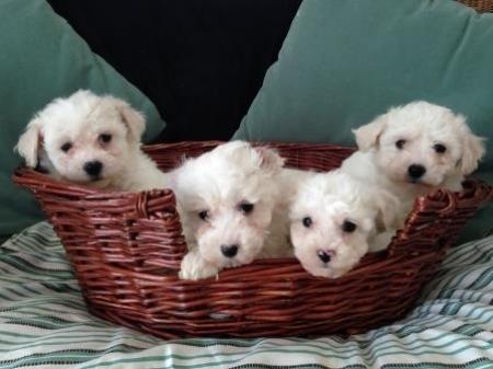 Fhd Bichon Frise Puppies For Sale