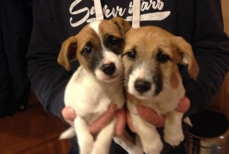 Ghdh Jack Russell Terrier for Sale