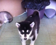 Adaptable Alaskan Malamute puppies for sale