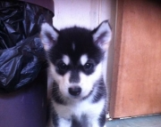 brave Alaskan Malamute puppies for sale