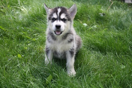 Amicable Alaskan Malamute Puppies for Sale