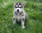 calm Alaskan Malamute puppies for sale
