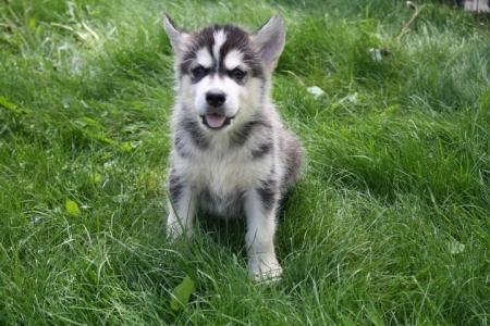 Calm Alaskan Malamute Puppies for Sale