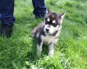 amusing Alaskan Malamute puppies for sale