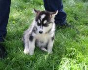 amiable Alaskan Malamute puppies for sale