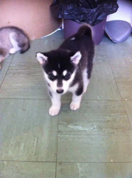 Funny Alaskan Malamute Puppies for Sale