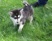 diligent Alaskan Malamute puppies for sale