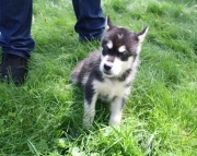 determined Alaskan Malamute puppies for sale