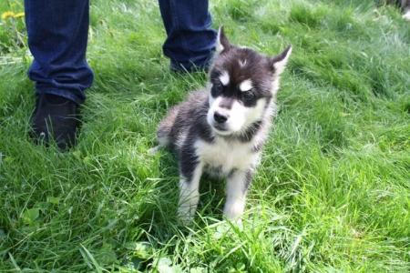 Determined Alaskan Malamute Puppies for Sale