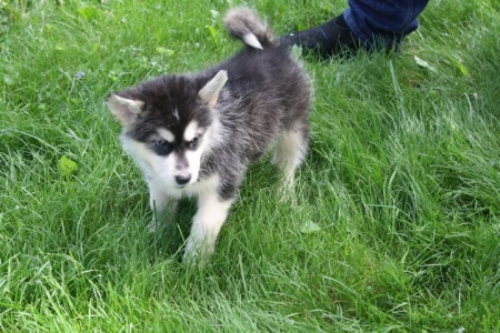 Creative Alaskan Malamute Puppies for Sale