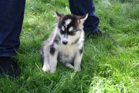 Dynamic Alaskan Malamute Puppies for Sale