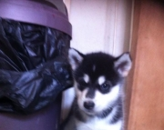 easygoing Alaskan Malamute puppies for sale