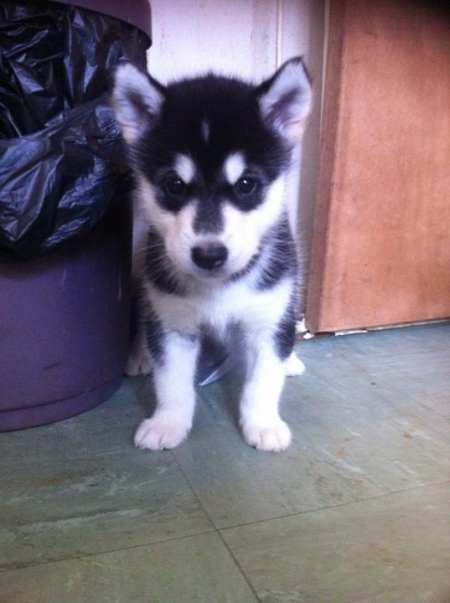 Energetic Alaskan Malamute Puppies for Sale